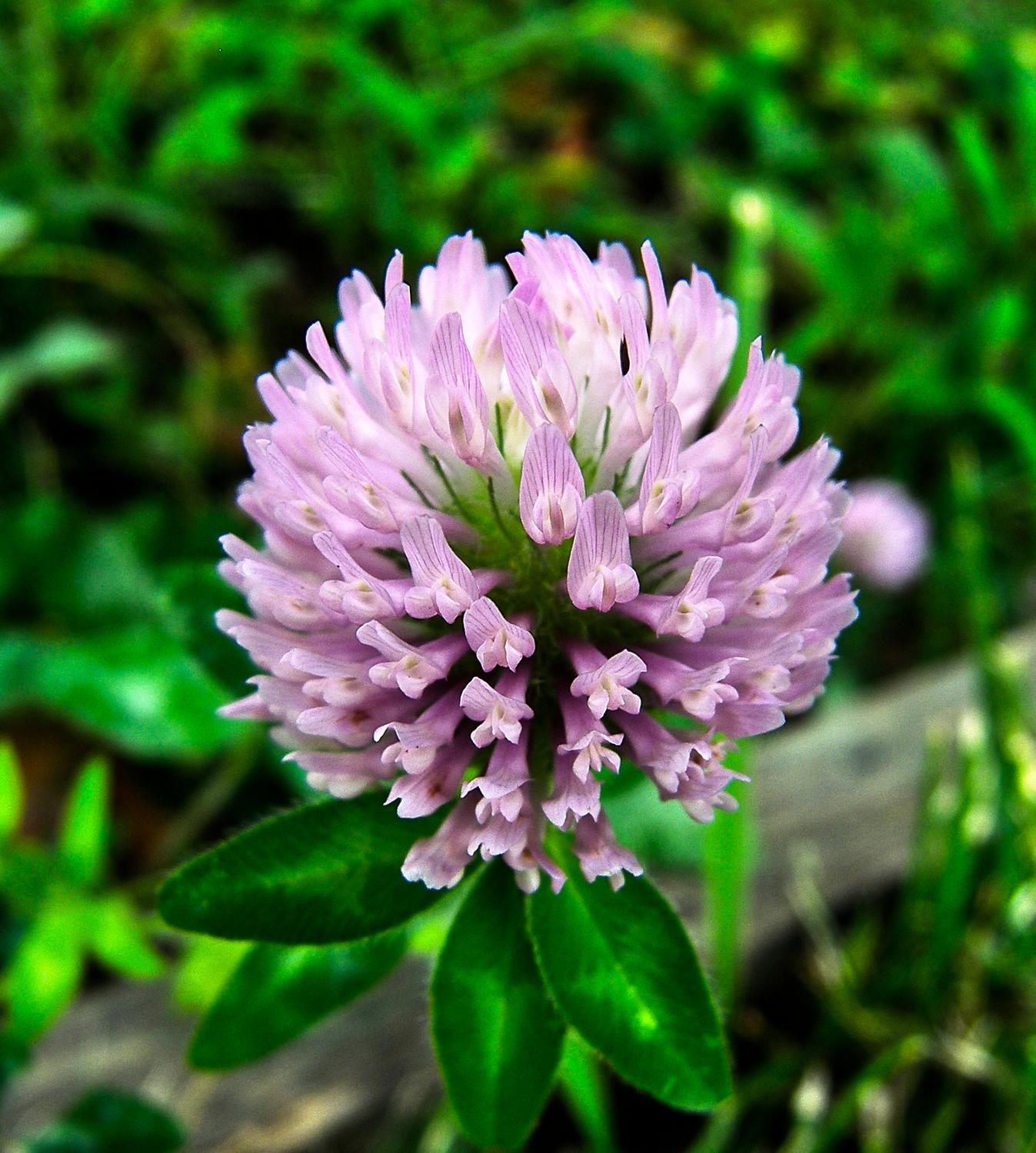 large pink clover - Clover - Kodak Easyshare P880 - - art  - photography - by Tony Karp
