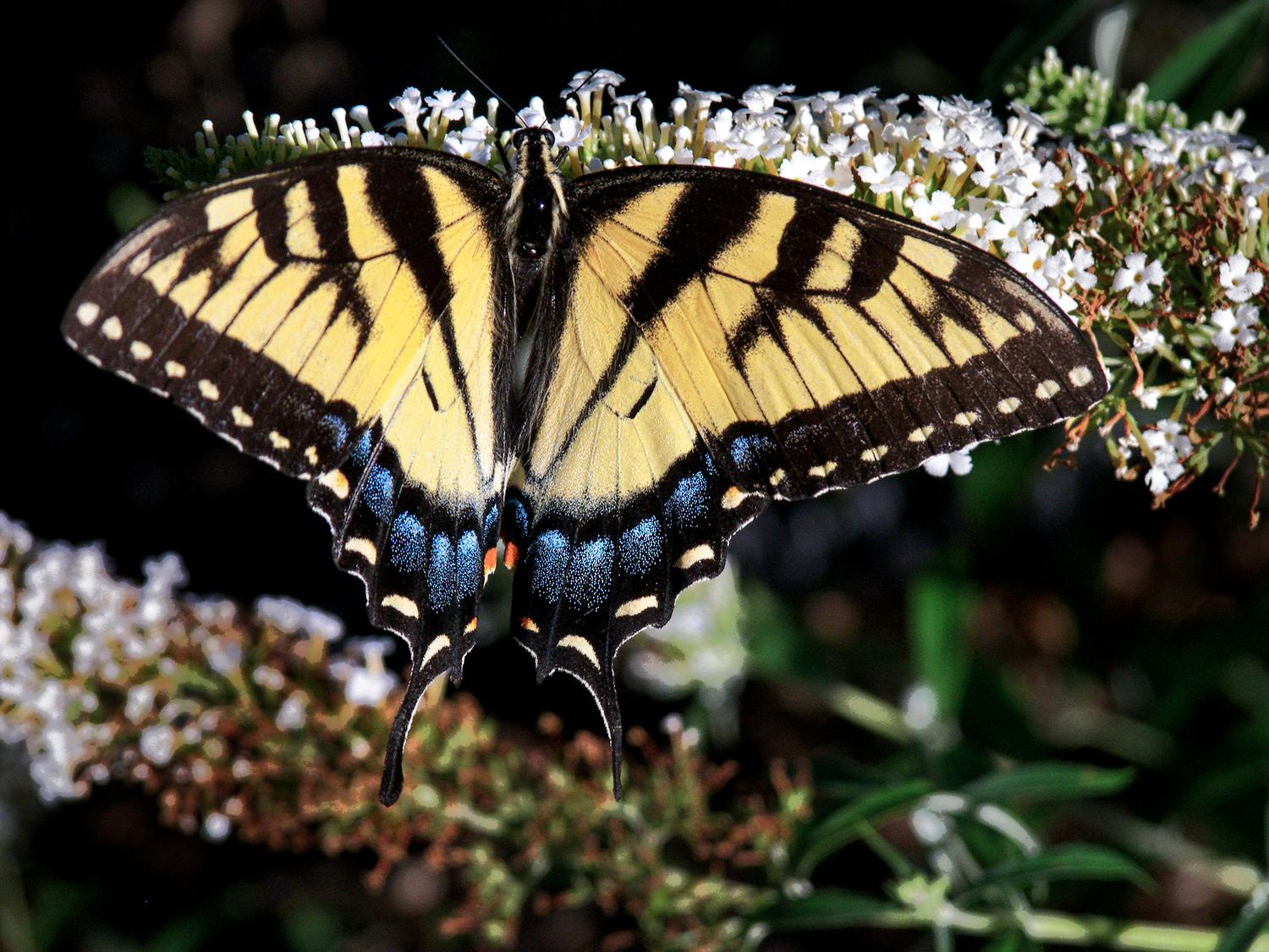 Swallowtail butterfly - Tiger swallowtail butterfly - Kodak Easyshare P880 - - art  - photography - by Tony Karp