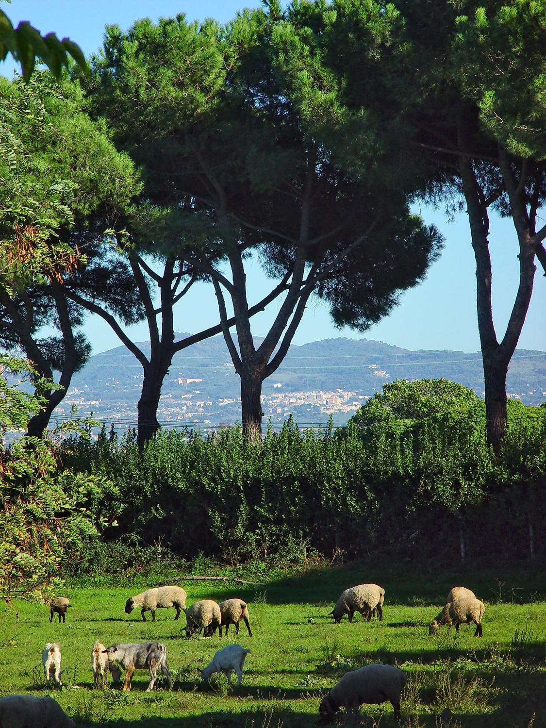 - Sheep in Rome? Yup. We saw this little farm along the Via Appia Antica. Note the characteristic umbrella shape of the stone pine trees in the background. - - Italian Stone Pine Tree - Umbrella Pine - Pinus Pinea - - Tony Karp, design, art, photography, techno-impressionist, techno-impressionism, aerial photography , drone , drones , dji , mavic pro , video , 3D printing - Books -