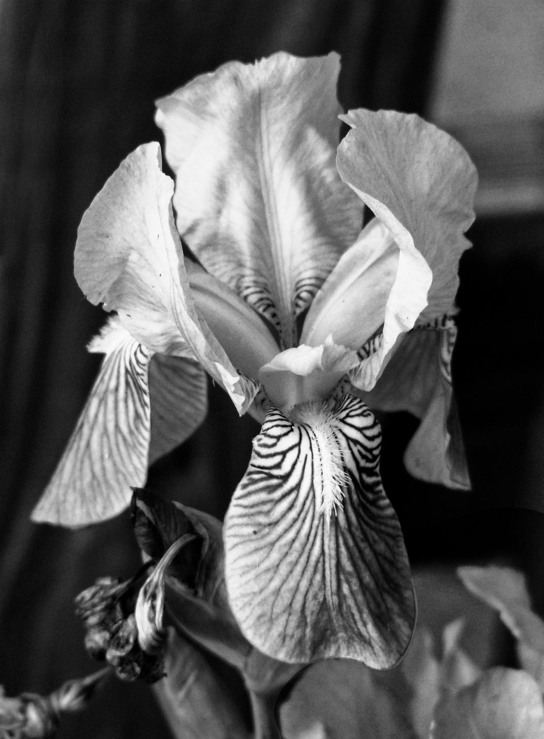 - The Iris, reduced to black and white. - Panasonic DMC-FZ18 - iris - many variations on one photograph - Tony Karp, design, art, photography, techno-impressionist, techno-impressionism, aerial photography , drone , drones , dji , mavic pro , video , 3D printing - Books -