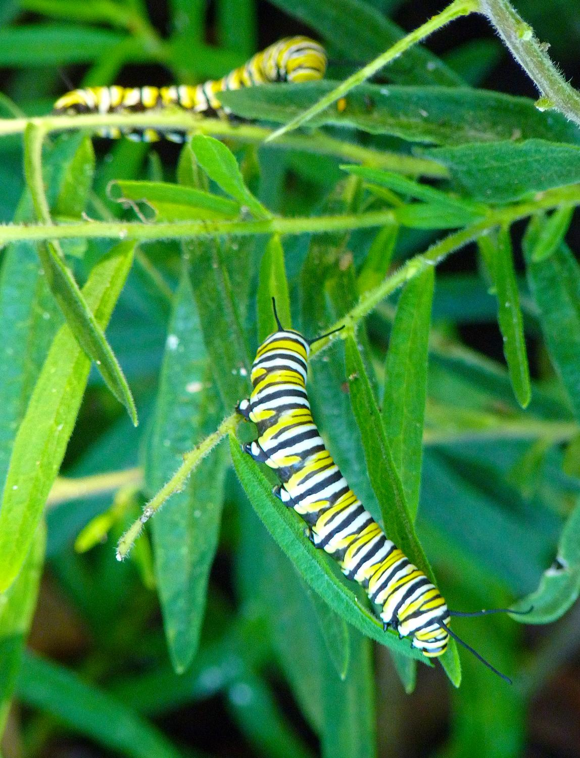 - Monarch butterfly caterpillars in their last stage before becoming butterflies. - Panasonic DMC-FZ35 - Tony Karp, design, art, photography, techno-impressionist, techno-impressionism, aerial photography , drone , drones , dji , mavic pro , video , 3D printing - Books -