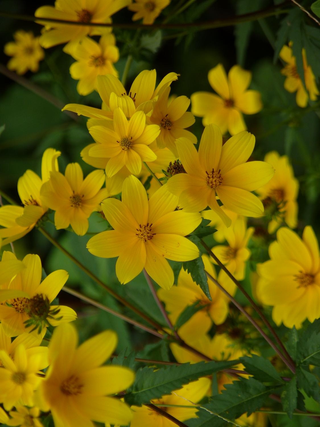 - Yellow flowers, blowing in the wind, - Panasonic DMC-FZ35 - - art  - photography - by Tony Karp