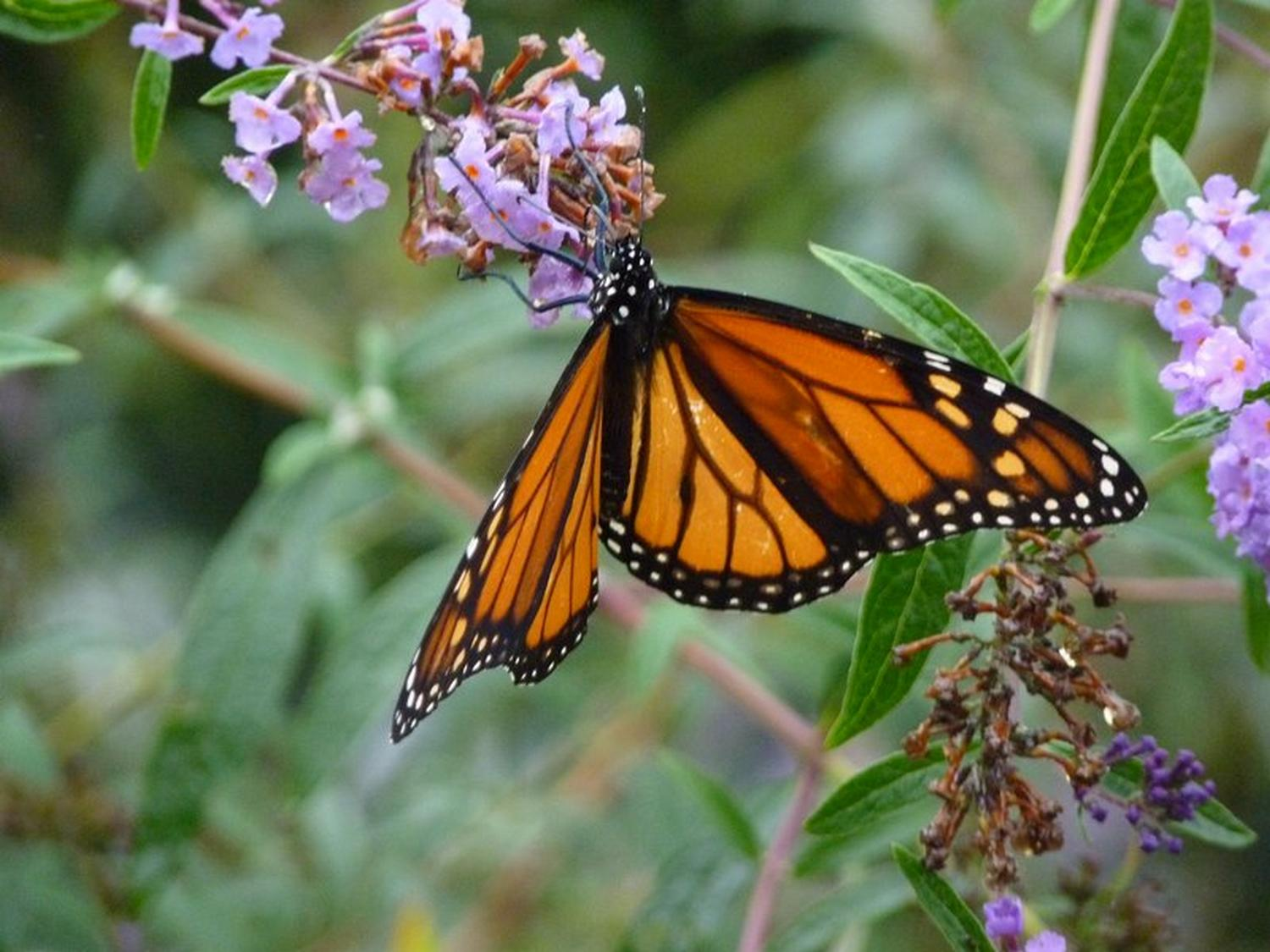 - Newborn monarch butterfly on its first excursion to our butterfly bush. - Panasonic DMC-FZ35 - Tony Karp, design, art, photography, techno-impressionist, techno-impressionism, aerial photography , drone , drones , dji , mavic pro , video , 3D printing - Books -
