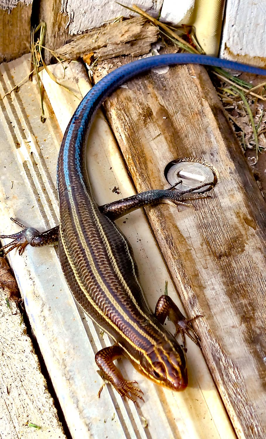 Panasonic DMC-LF1 - A skink by the garage. This one has a blue tail,<br> meaning it's still in its youth. - Leica C (typ 112) - Panasonic DMC-LF1 - five-lined skink - - Tony Karp, design, art, photography, techno-impressionist, techno-impressionism, aerial photography , drone , drones , dji , mavic pro , video , 3D printing - Books -