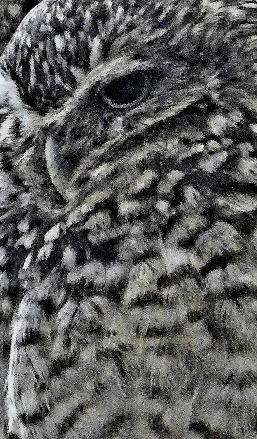 - Mr. Owl, close up, displays an impressionistic demeanor. - - Panasonic DMC-LF1 - Washington DC National zoo - Tony Karp, design, art, photography, techno-impressionist, techno-impressionism, aerial photography , drone , drones , dji , mavic pro , video , 3D printing - Books -