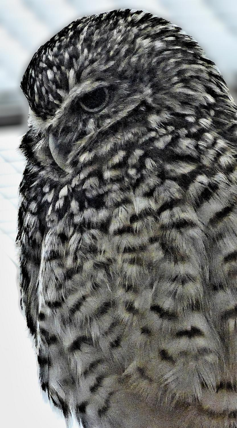 - Mr. Owl, reduced to black and white. - - Panasonic DMC-LF1 - Washington DC National zoo - Tony Karp, design, art, photography, techno-impressionist, techno-impressionism, aerial photography , drone , drones , dji , mavic pro , video , 3D printing - Books -