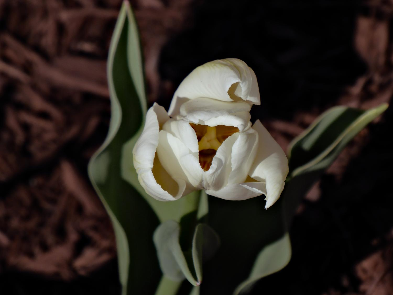 - White tulip.  - Panasonic DMC-ZS40 - Panasonic DMC-TZ60 - - Tony Karp, design, art, photography, techno-impressionist, techno-impressionism, aerial photography , drone , drones , dji , mavic pro , video , 3D printing - Books -